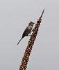 Spizella breweri, Brewer's Sparrow on Verbascum thapsus spike. E of Alpine, UT.