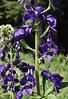 Aconitum columbianum, Catherine Pass Trail, Brighton, UT.