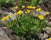 Ranunculus adoneus, Western Wild Buttercup, Secret Lake Trail, Alta, UT.