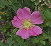 Rosa woodsii, Woods's Rose, Secret Lake Trail, Alta, UT.