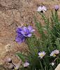 Polemonium viscosum,(syn. P. confertum), Sticky Jacob's Ladder, Bald Mountain Trail, E of Oakley, UT.
