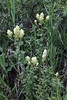 Castilleja cf. sulphurea, Sulfur Paintbrush.
