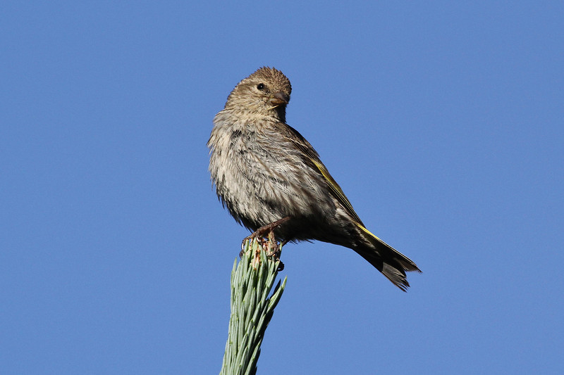 Carduelis linus, Pine Siskin, Secret Lake Trail, Alta, UT.