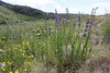Penstemon cf. attenuatus, Taper-leaved Beardtongue, Wasatch Range