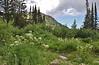 Perideridia spec. Yampah, Secret Lake Trail, Alta, UT.