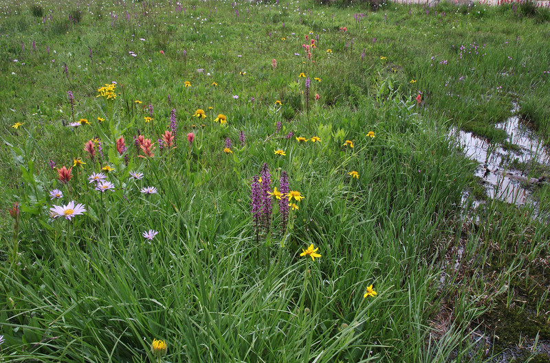 Pedicularis groenlandica, Balt Mountain Trail near Big Elk Lake, Wasatch-Cache Natural Forest, UT.