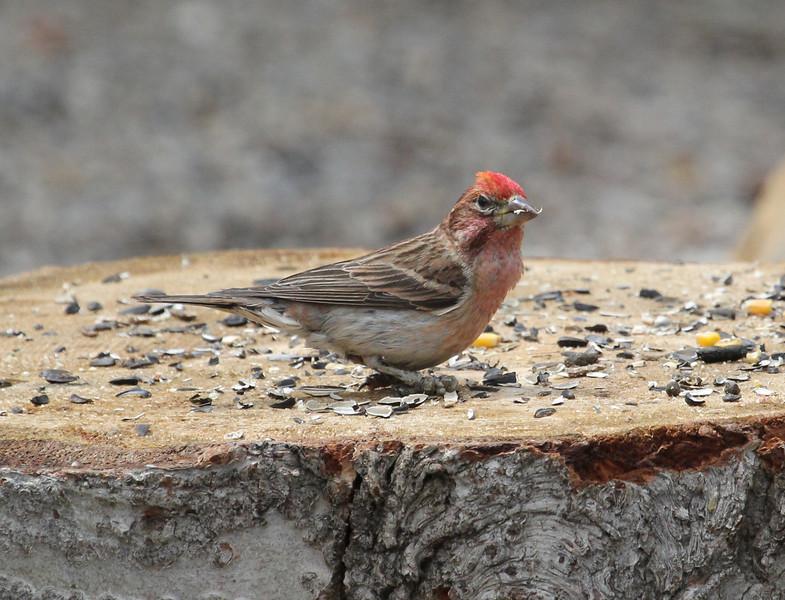 Carpodacus cassinii, Cassin's Finch. Campground Albion Basin near Alta, UT.