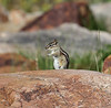 Tamias umbrinus ssp. umbrinus, Uinta Chipmunk. Secret Lake Trail, Alta, UT.