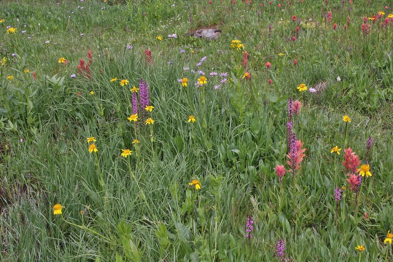 Wildflower-meadow with Pedicularis groenlandica, Balt Mountain Trail near Big Elk Lake, Wasatch-Cache Natural Forest, UT.