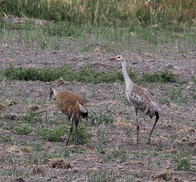 Grus canadensis, Sandhill Crane near Yampa River, Maybell, CO.