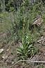 Verbascum thapus, Common Mullein, E of Alpine, UT.