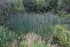 Scirpus tabernaemontani, Common Great Bulrush, (syn. Tule).