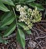 Sambucus racemosa var. melanocarpa, Black Elderberry.