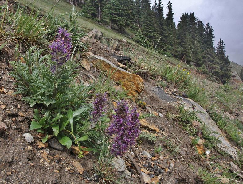 Phacelia sericea, Silky Phacelia along Old Fall River Road