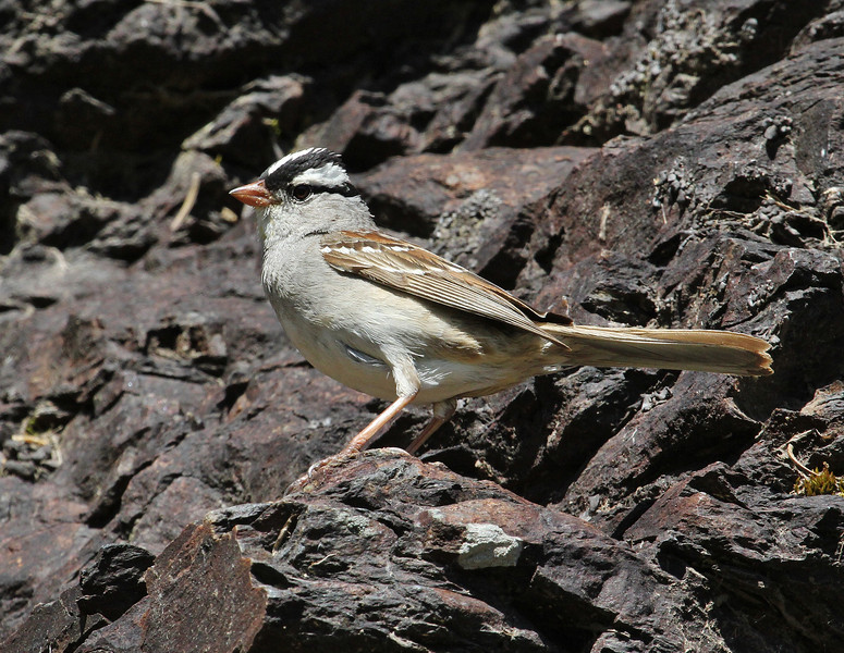 Zonotrichia leucophys, White-crowned Sparrow, Alta, UT.