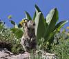 Spermophilus armatus, Uinta Ground Squirrel. Catherine Pass Trail, Brighton, UT.