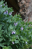 Mertensia oblongifolia, Western Bluebells,<br /> Secret Lake Trail, Alta, UT.