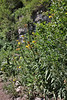 Oenothera villosa, Yellow Evening Primrose. Mount Timpanogos Trail.