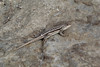 Uta stansburiana, female Side-blotched Lizard, Semi desert, Big Sand Wash Res., Duchesne, UT.