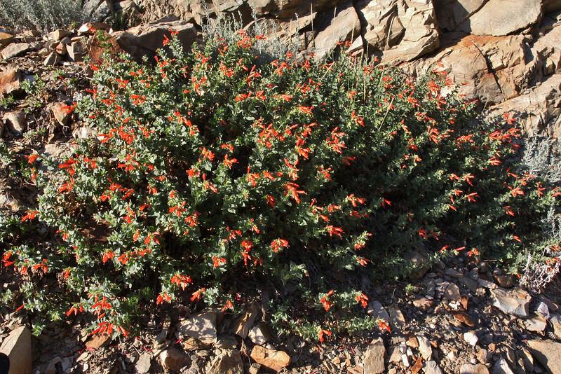 Zauschneria latifolia, (syn. Epilobium canum)