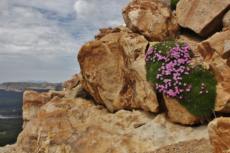 Silene acaulis, Moss Campion, Bald Mountain Trail, E of Oakley, UT.