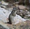 Spermophilus armatus, Uinta Ground Squirrel, E of Alpine, UT.
