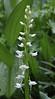 Habenaria dilatata, White Bog Orchid, Secret Lake Trail, Alta, UT.