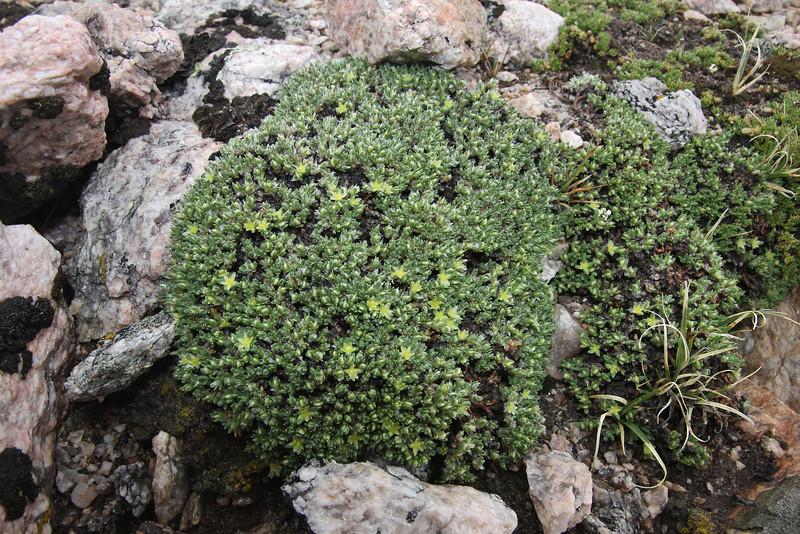 Paronychia pulvinata, Rocky Mountain Nailwort along Old Fall River Road