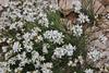 Arenaria fendleri, Fendler Sandwort. Bald Mountain Trail, E of Oakley, UT.