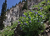 Mertensia cf. ciliata, Streamside Bluebells. Catherine Pass Trail, Brighton, UT.
