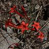 Ipomopsis aggregata, syn. Gilia aggregata, Scarlet Gilia, Wasatch Range