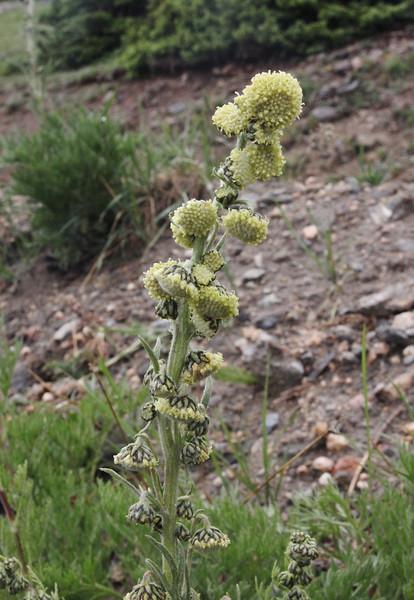 Artemisia arctica, Mountain Sagewort along Old Fall River Road