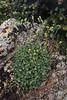 Heuchera parvifolia
