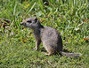 Spermophilus armatus, Uinta Ground Squirrel, Catherine Pass Trail, Brighton, UT.