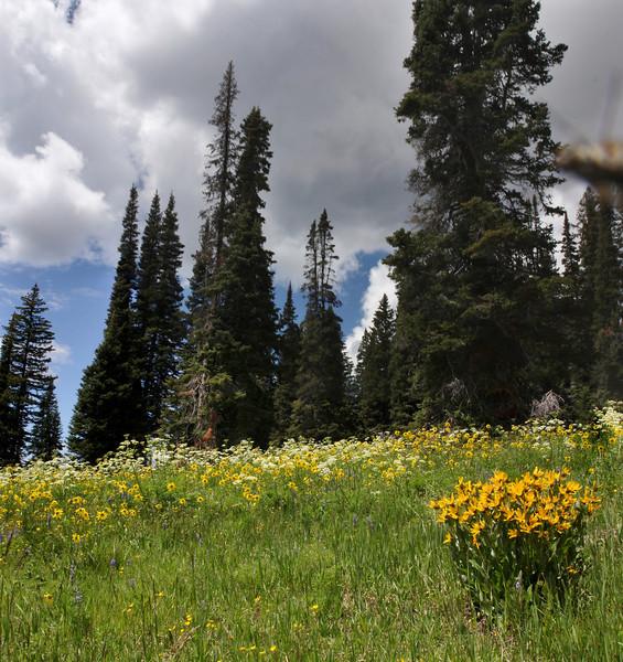 Wyethia amplexicaulis, Mules-Ear Wyethia and Helianthella quinquenervis, Little Sunflower, Walton Peak, Arapaho National Forest, SE of Steamboat Springs, CO.