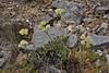 Eriogonum umbellatum, Sulphur Buckwheat, Wasatch Range