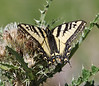 Papilio multicaudata, Two-Tailed Swallowtail