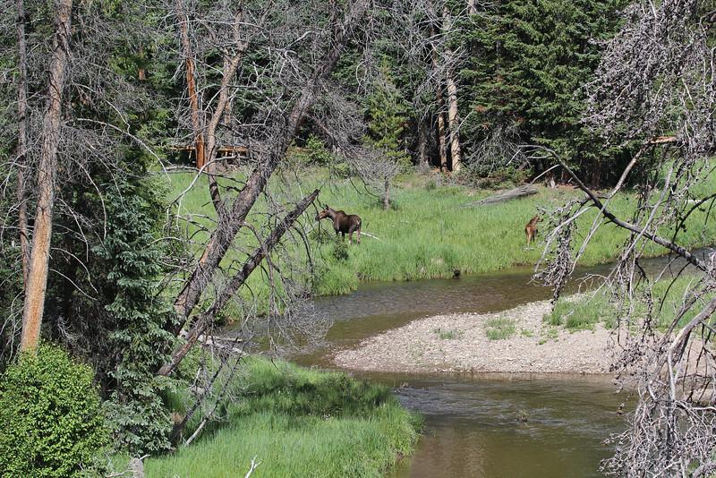 Alces alces, female and calve Moose.