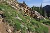 Habitat of Linanthus nuttallii, Nutall's Linanthus, Secret Lake Trail, Alta, UT.
