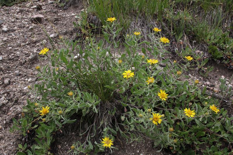 Heterotheca pumila, (Syn. Chrysopsis pumila), Dwarf Golden Aster, or H. villosa. Walton Peak, Arapaho National Forest, SE of Steamboat Springs, CO.