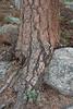 trunk of Pinus ponderosa