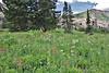 Meadow with Polemonium foliosissimum, Towerig Jacob's- Ladder , Secret Lake Trail, Alta, UT.