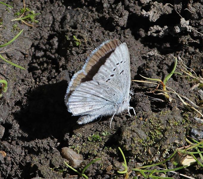 Plebejus icarioides, Boisduval's Blue, Mount Timpanogos Trail.