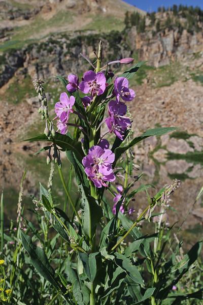 Epilobium angustifolium, Fireweed, Secret Lake Trail, Alta, UT.