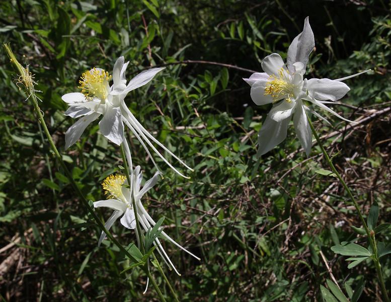 Aquilegia coerulea, Colorado Blue Columbine, light form, CO State flower, Wasatch Range