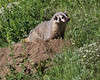 Taxidea taxus, American Badger near burrow entrance. Above Cecret Lake. Alta, SE of Salt Lake City, UT.
