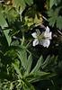 Geranium richardsonii, Richardson Geranium, Wasatch Range