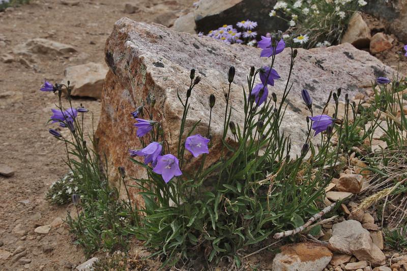 Campanula rotundifolia, Common Harebell, Bald Mountain Trail, E of Oakley, UT.
