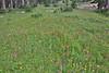 Wildflower meadow along Balt Mountain Trail near Big Elk Lake, Wasatch-Cache Natural Forest, UT.