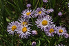 Erigeron speciosus, Showy Fleabane Daisy, Walton Peak, Arapaho National Forest, SE of Steamboat Springs, CO.